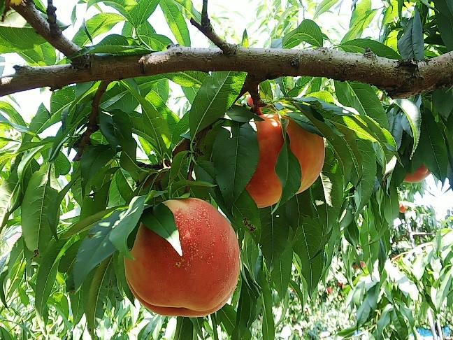 食べ放題の桃狩りが楽しめる
