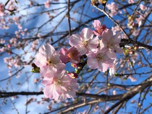 日本平の桜みごろ