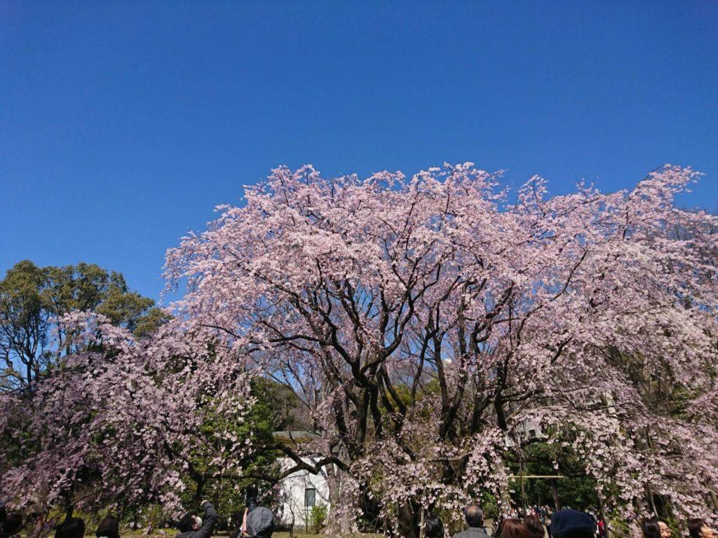 六義園 桜写真