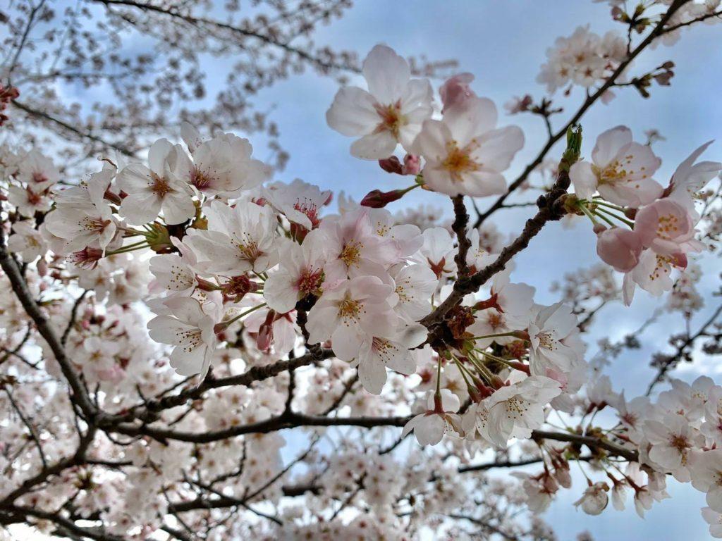 相模原 桜画像