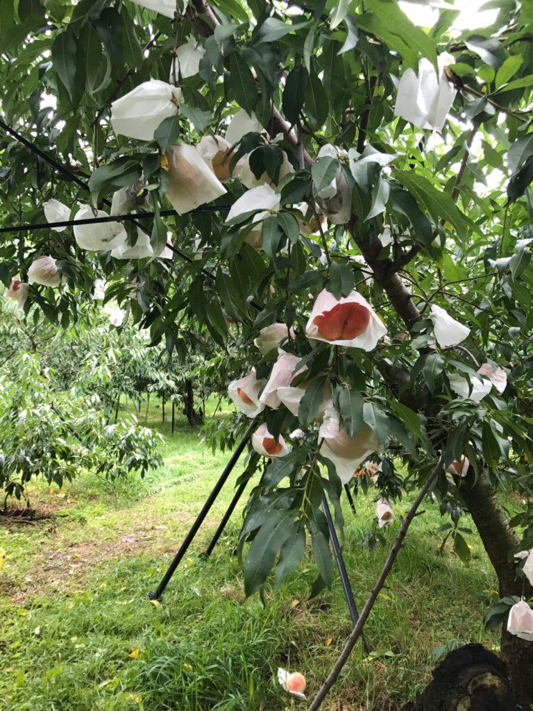 桃狩り 画像