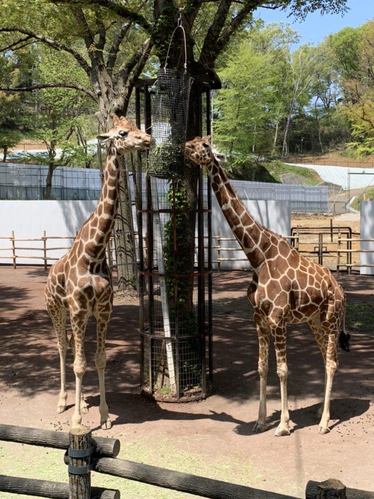 動物園 キリン 写真