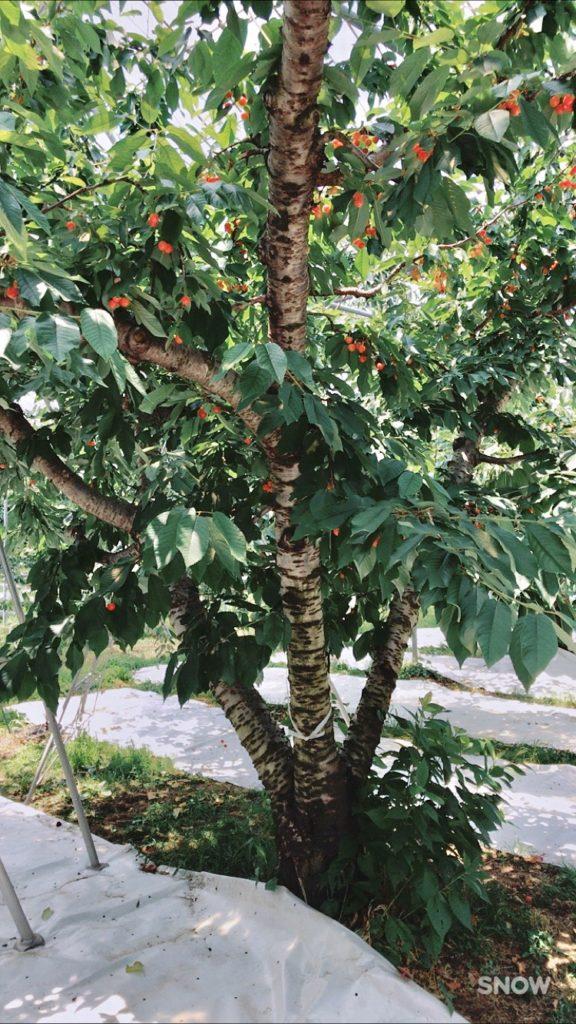 さくらんぼの木 写真