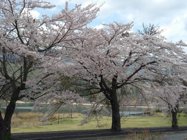 桜 バスツアー